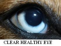 Clear, Healthy Dog Eye