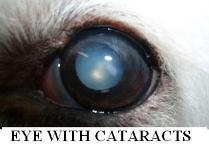 Dog Eye With Cataracts