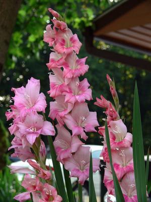 Gladiolas Are Poisonous To Pets Poisonous Plant For Pets