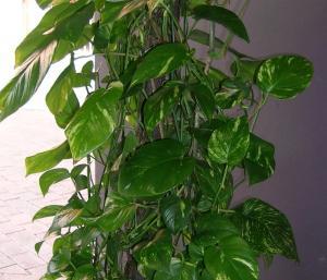 Cordatum is poisonous to pets poisonous plant for pets for Large non toxic house plants